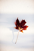 Fallen leaf photographed on white with light patterns. Leaf On White Background