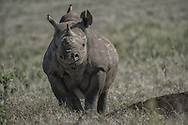 Black Rhino, Doto, lost his horn in a territorial fight with another rhino in Lewa, Kenya. He may have lost the horn, but certainly did not lose an inch of attitude or aggression.