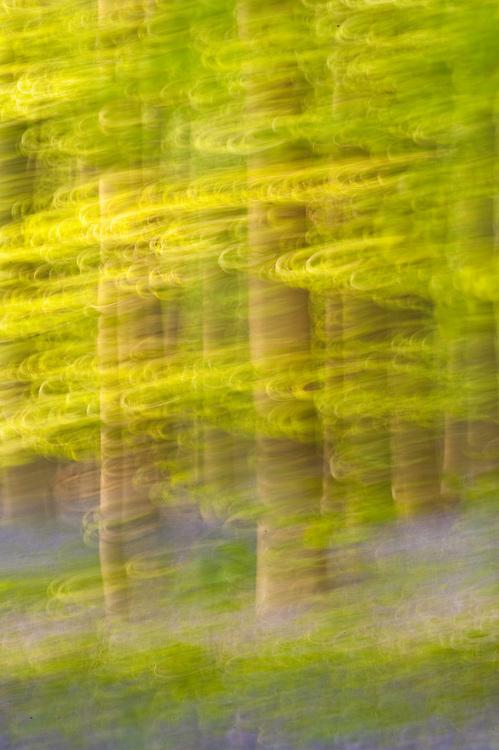Hallerbos forest at dawn, Bluebells carpet Hyacinthoides non scripta, Belgium (blurred)