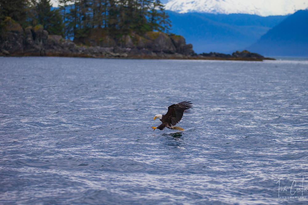 Bald Eagle ~ Haliaeetus leucocephalus ~ Inside Passage, Alaska ~ www.adventurequestX.com