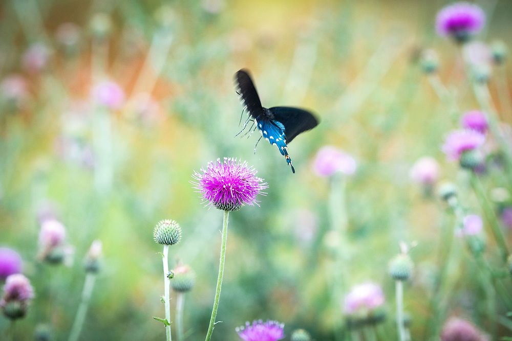 Texas purple thistle and pipevine swallowtail, Texas Hill Country, Castell, Texas