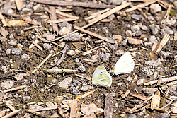 Cabbage White (Pieris rapae) butterfly - the adult morph of the cabbage worm.  Identifiable by its white color with a black spot on each wing