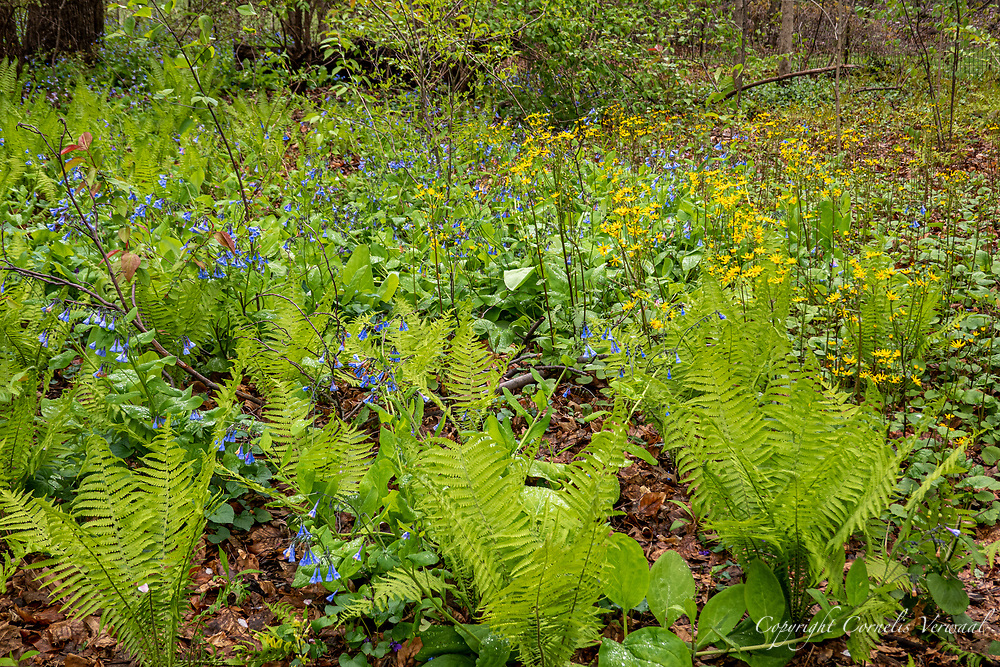 Delicate ferns, bluebells and other wildflowers after some rain in The Ramble of Central Park., April 27, 2020.