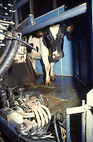 cow entering automatic milking parlour
