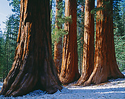 Giant sequoia's called the Bachelor and the Three Graces, Lower Mariposa Grove, Yosemite National Park, California.