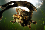 Common european toad {Bufo bufo} two males attempting to mate with one female. Solling in the Central German Upland. Solling, Germany | Relativ langsam und stoisch wandern die Erdkröten (Bufo bufo ) im Frühjahr zu ihren angestammten Laichgewässern. Fühlt sich aber ein Männchen, das sich bereits auf seiner viel größeren Auserwählten festgeklammert hat, von einem Rivalen herausgefordert, kann es zu hitzigen Gefechten und abwehrenden Tritten kommen. Bedingt durch einen natürlicherweise sehr großen Überschuss an männlichen Erdkröten sind sowohl auf der Wanderung als auch im Wasser solche Szenen an der Tagesordnung und die lauten Protestrufe von Männchen, die sich in der Umklammerung eines allzu eifrigen Geschlechtsgenossen wiederfinden, begleiten das Schauspiel. (Deutschland)