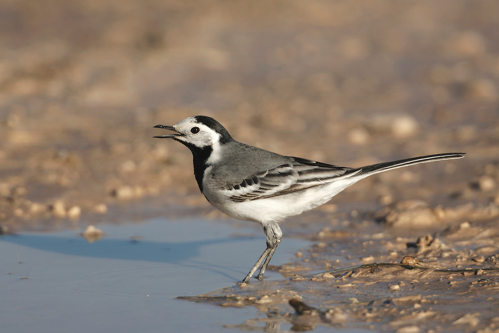 The White Wagtail Motacilla alba alba (L 18cm) is the mainland European counterpart of the Pied Wagtail and easily overlooked because the two are so similar. All birds have a grey, not black, rump but this is not always easy to discern. An adult male also has a grey (not black), with a clear demarcation from the black nape and hindcrown in summer. In terms of behaviour and voice, White and Pied Wagtails are identical. The White Wagtail replaces Pied in the Channel Islands and a few pairs also breed in Scotland, particularly on the Shetland Isles. Elsewhere, it is a fairly common passage migrant, with most sightings on the coast in autumn.