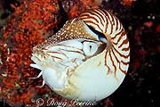 chambered nautilus,<br /> Nautilus pompilius,<br /> Borneo, Malaysia, ( Celebes Sea )