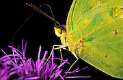 Cloudless Sulphur butterfly and Ironweed wildflower, Ozark forest, Baxter County, Arkansas