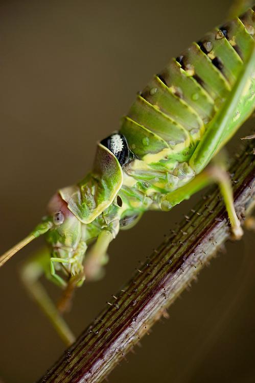 Bush cricket (Ephippiger ephippiger), Lake Skadar National Park, Montenegro