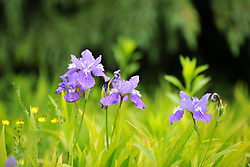 May 7, 2018 - Qingdao, Qingdao, China - Qingdao, CHINA-7th May 2018: Iris flowers blossom at Shandong University of Science and Technology in Qingdao, east China's Shandong Province. (Credit Image: © SIPA Asia via ZUMA Wire)