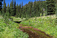Partridgefoot, Lupines and other wildflowers growing next to a stream along the Sunrise Rim Trail at Mount Rainier National Park in Washington State, USA