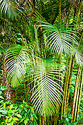 Areca palms in Hawaii jungle