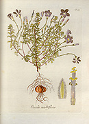 Woodsorrel (Oxalis multiflora). Illustration from 'Oxalis Monographia iconibus illustrata' by Nikolaus Joseph Jacquin (1797-1798). published 1794