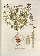 Woodsorrel (Oxalis multiflora). Illustration from 'Oxalis Monographia iconibus illustrata' by Nikolaus Joseph Jacquin (1797-1798). published 1794