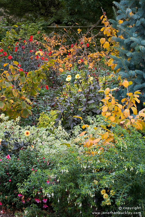Autumn border with dahlias, fuchsias and witch hazels