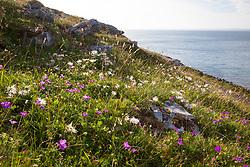 Mountain Avens seedheads growing with geraniums on the coast at The Burren, Ireland. White Dryas. Dryas octopetala
