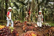 Workers weigh bunches of oil palm friut durning a harvest on a plantation in Ukui, Riau Province, Indonesia, on 15 June 2015. This area has become dominated by palm oil production, and some smallholder farmers have formed co-operatives to share costs, increase access to markets, and become certified by the Roundtable on Sustainable Palm Oil. He is part of Amanah, a local cooperative that has helped over 400 farmers become RSPO certified - reducing their use of pesticides and fertilizers, increasing yields, and improving farm management.