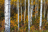 Aspen forest with colorful brush at McClure Pass in the Gunnison National Forest, Colorado, USA
