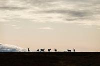 Silhouette of reindeer herd along Kungsleden Trail, Lapland, Sweden