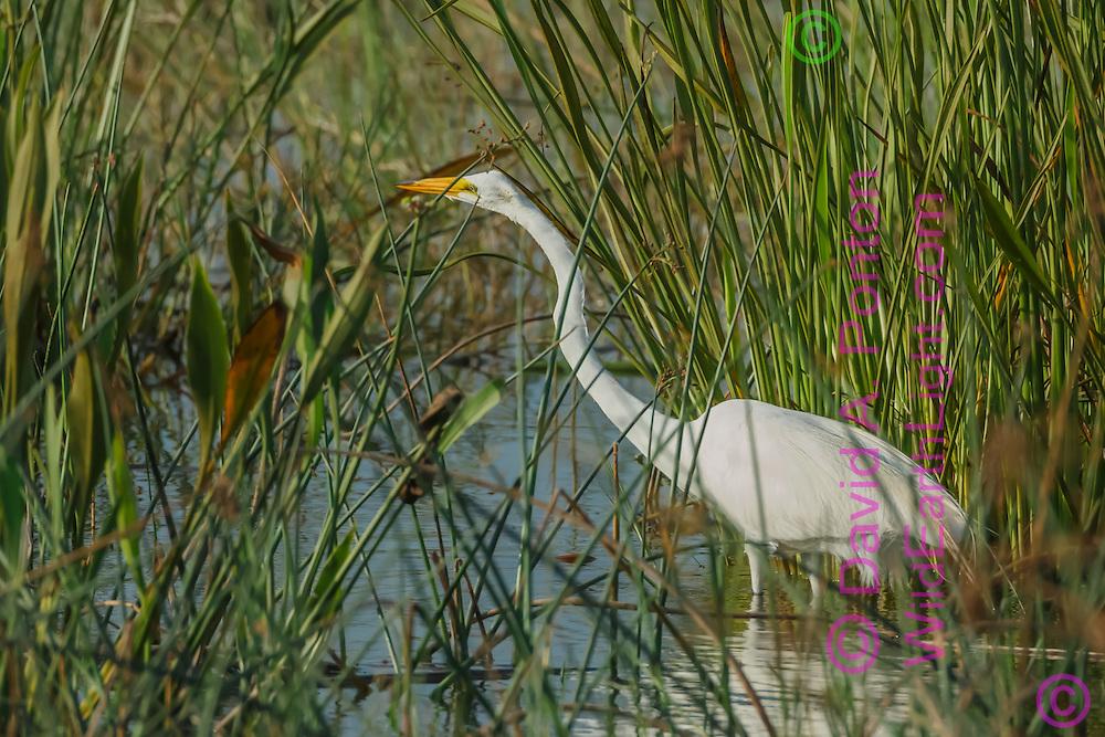 Great egret stalking prey in wetland marsh, © David A. Ponton