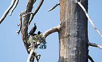 A pair of Double-crested Cormorants, Phalacrocorax auritus, nests in a dead tree on the shore of Hyatt Lake, Oregon