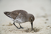 Dunlin (Calidris alpina)<br /> Little St Simon's Island, Barrier Islands, Georgia<br /> USA<br /> HABITAT & RANGE: Shorebirds migrate from Alaska and Canadian Arctic to Pacific & Atlantic coasts