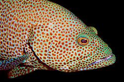 graysby, Epinephelus cruentatus, City of Washington wreck, Key Largo, Florida Keys National Marine Sanctuary, Atlantic Ocean