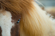 An Icelandic horse with it's blue eye