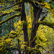 A pacific northwest forest in peak fall color along the Nooksack River in Washington.