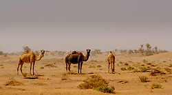Camels in a sandstorm in the Moroccan Sahara Desert<br /> <br /> (c) Andrew Wilson | Edinburgh Elite media