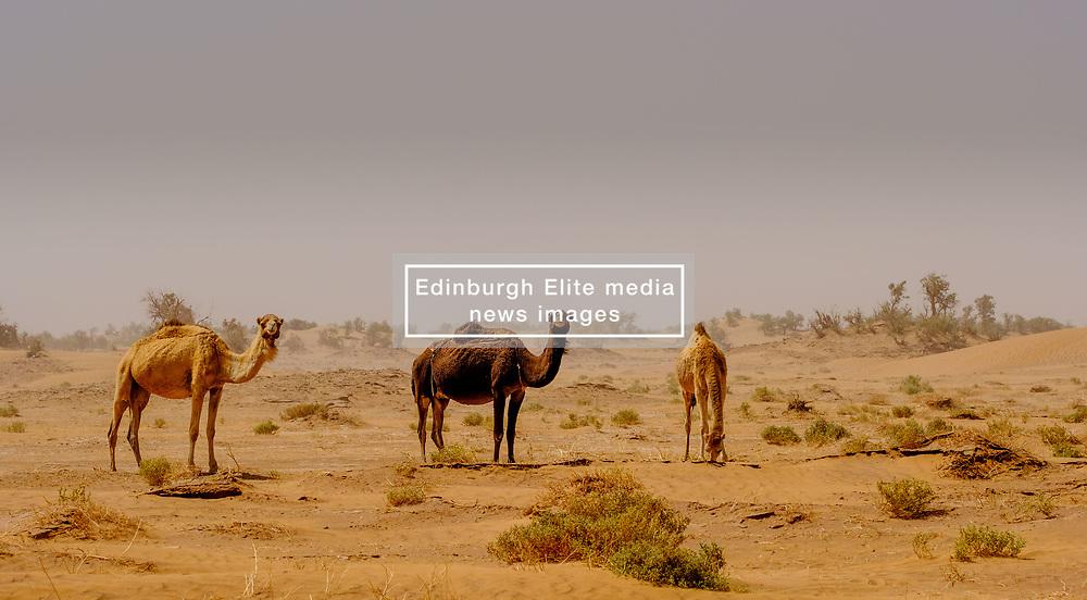 Camels in a sandstorm in the Moroccan Sahara Desert<br /> <br /> (c) Andrew Wilson | Edinburgh Elite media