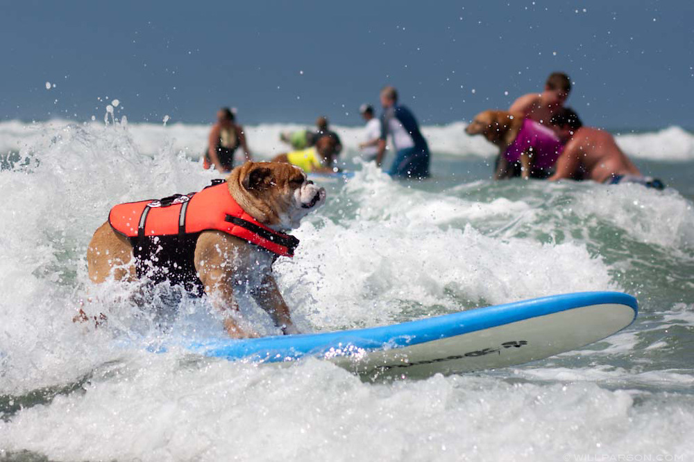 Callie, an English bulldog, catches a wave during the Surf Dog Surf-a-thon in Del Mar.