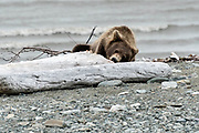 A brown bear sub-adult examines driftwood logs for insects along the beach at the McNeil River State Game Sanctuary on the Kenai Peninsula, Alaska. The remote site is accessed only with a special permit and is the world's largest seasonal population of brown bears in their natural environment.