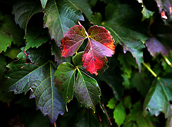 Fall colors in the outfield ivy, Wrigley Field, Game 4, 2016 World Series