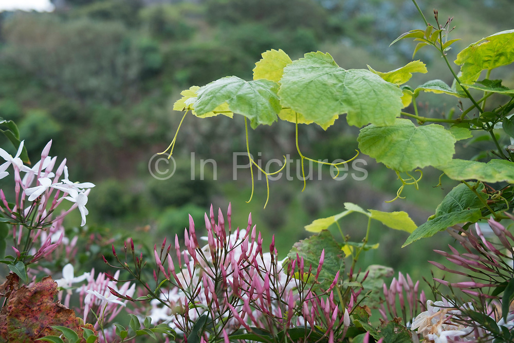 Jasmine tendrils, leaves and flowers in La Palma, Canary Islands, Spain. La Palma, also San Miguel de La Palma, is the most north-westerly Canary Island in Spain. La Palma has an area of 706km2 making it the fifth largest of the seven main Canary Islands.