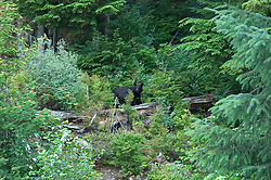 Alaska, black bear, seen while cruising the Southeast wilderness waterways on the Spirit of Discovery. Visit to Tlingit native village of Kake, population 800.  Photos of clothing design, jewelry, totem pole, bear, wood carver, world?s tallest totem pole at 132 feet, dances, male dancer (model released) and houses..Photo copyright Lee Foster, 510/549-2202, lee@fostertravel.com, www.fostertravel.com..