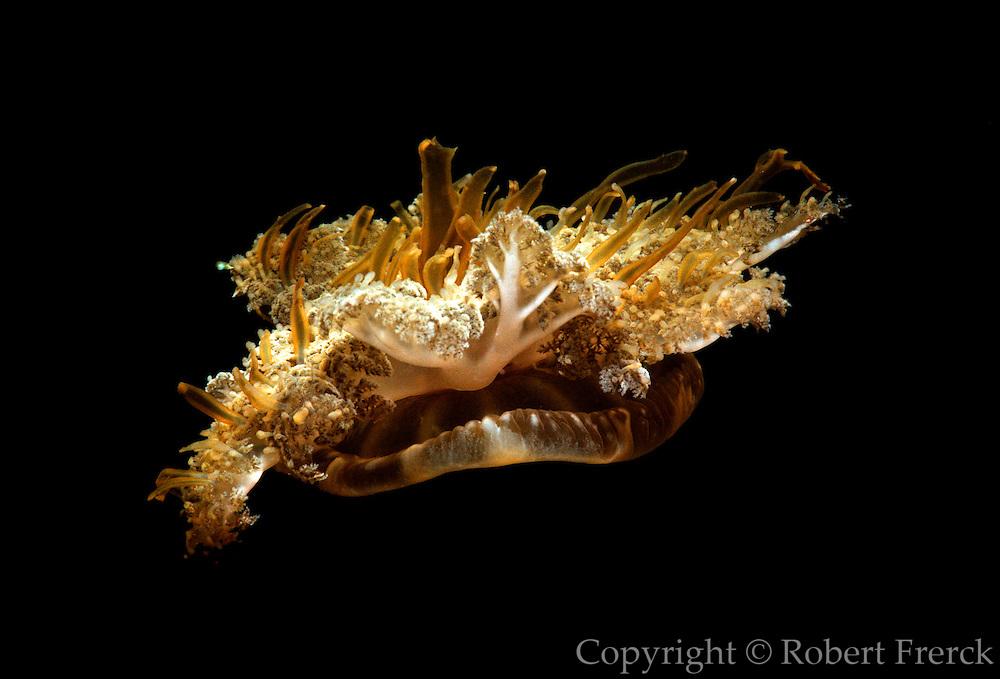 UNDERWATER MARINE LIFE CARIBBEAN,  Upside-down Jellyfish Cassiopeia xamanchana