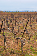 Domaine Piccinini in La Liviniere Minervois. Languedoc. Vines trained in Cordon pruning. France. Europe. Vineyard.
