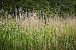 Yellow Flag iris amongst Norfolk Reeds, Scotland. Iris pseudacorus