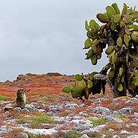 South America, Ecuador, Galapagos, South Plaza Island.