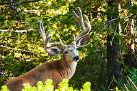 This beautiful deer was enjoying a snack on the side of the road in the Canyon area of Yellowstone. <br /> <br /> ©2009, Sean Phillips<br /> http://www.Sean-Phillips.com