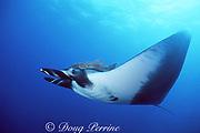 manta ray, Mobula birostris (formerly Manta birostris), with remora on head, San Benedicto, Revillagigedos Islands ( Socorro Islands ), Mexico, Revillagigedo Archipelago National Park, a UNESCO World Heritage Site ( Eastern Pacific Ocean )