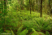 Sword ferns grow in abundance under the closed canopy of an old growth forest at Seward Park.