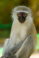 Vervet Monkeys, Berg-en-Dal Camp, Kruger National Park, South Africa