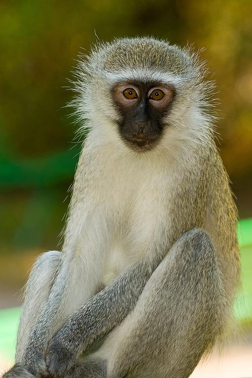 Vervet Monkeys, Berg-en-Dal Camp, Kruger National Park, South Africa