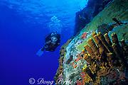 diver and tube sponges, Aplysina fistularis, Saba Island, Netherlands Antilles, ( Eastern Caribbean Sea )   MR 95