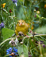 Goldfinch blind in one eye feeding on the Bachelor Button Flowers. Image taken with a Nikon 1 V3 camera and 70-300 mm VR lens