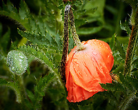Red Poppy flower. Image taken with a Nikon 1 V3 camera and 70-300 mm VR lens.
