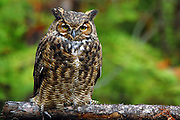 Great horned owl in a conifer forest. Yaak Valley, Montana